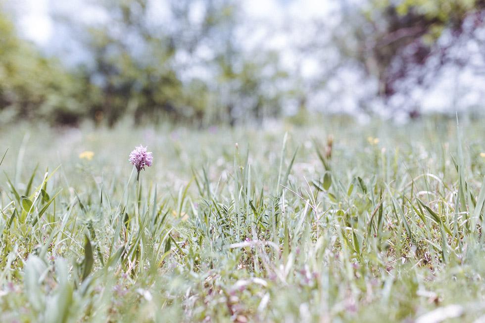 Česká orchidej Vstavač trojzubý Orchis tridentata